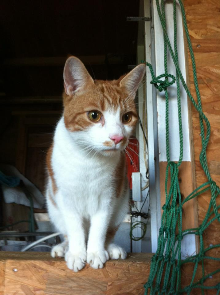 """""""We took him in last October from SNIP and he has been having the time of his life on our farm. He is the sweetest cat and has become so at home here and just loves life. He also is doing a fantastic job with his mate Simba(another SNIP cat) keeping our mice at bay.Thankyou so much SNIP for two wonderful cats """""""