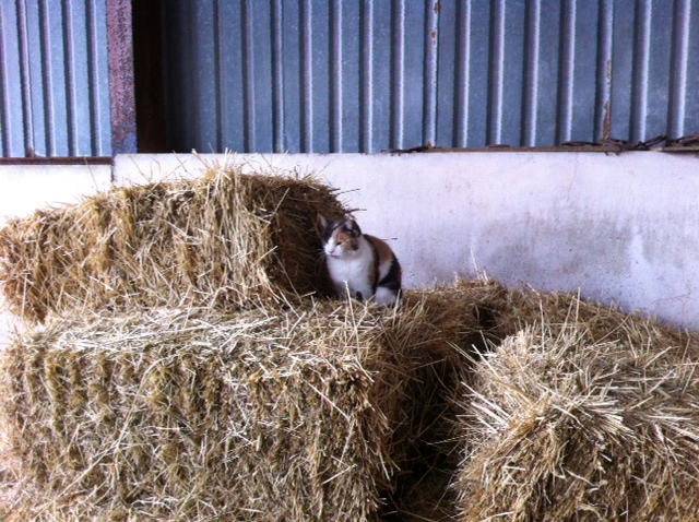 Flossie at home on the hay bales in the barn